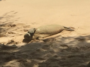 Hawaiian Monk Seal ReginaMaeWrites.jpg