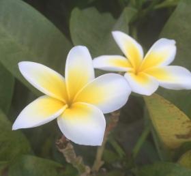 Plumeria ReginaMaeWrites.jpg
